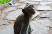 Contemplative Monkey