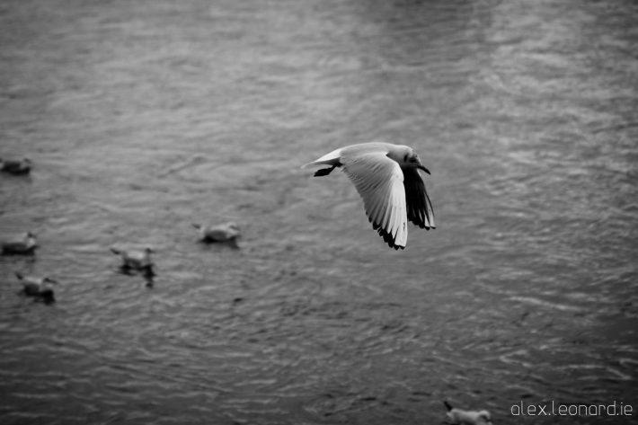 Gull in Flight - Photo by Alex Leonard
