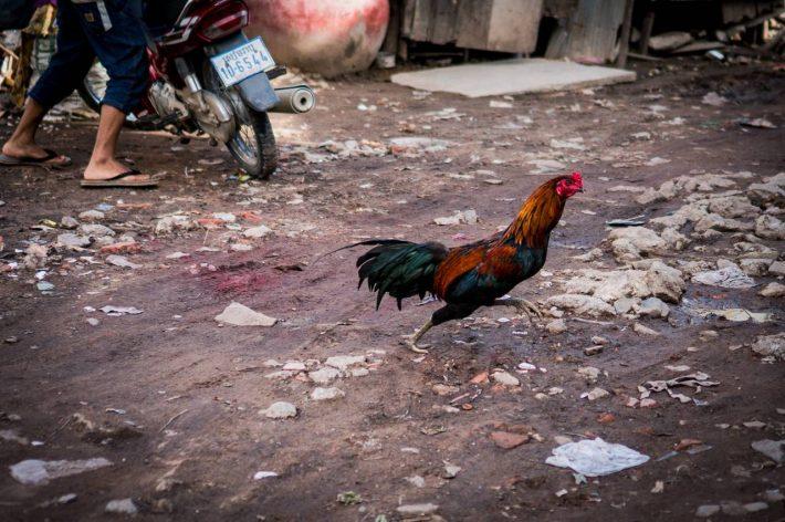 Cockerel - A photo by Alex Leonard